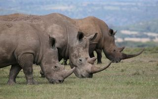 Photo free rhinoceroses, muzzles, horns