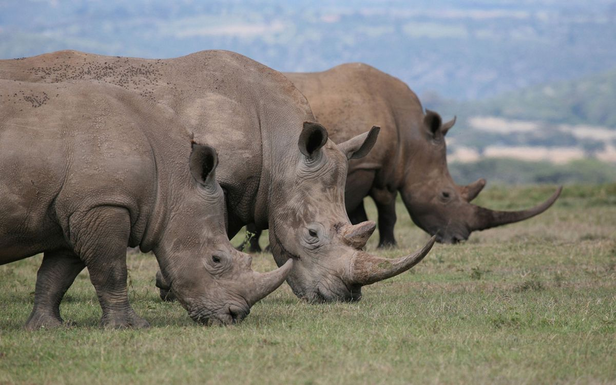 Фото бесплатно носороги, морды, рога - на рабочий стол