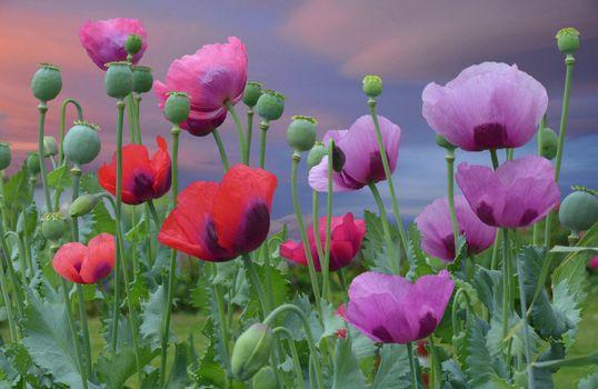 Фото бесплатно поле, мак, цветы