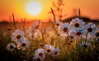 Бесплатные фото ромашки,поле,закат,солнце