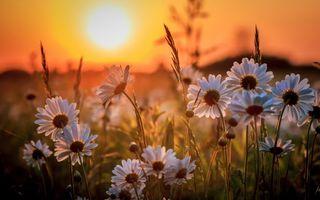 Фото бесплатно ромашки, поле, закат