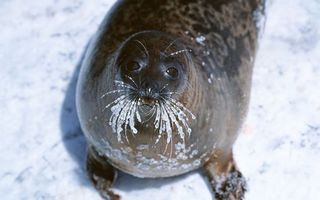 Бесплатные фото тюлень,морда,глаза,усы,лед,ласты