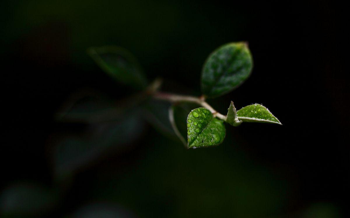 Фото бесплатно растение, веточка, листья, зеленые, капли, вода, роса, фон темный, природа