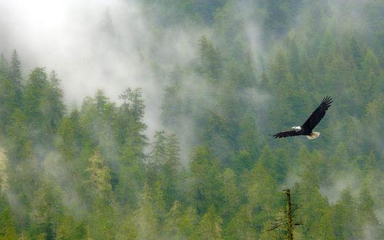 Photo free eagle, baldhead, wings