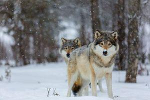 Фото бесплатно волк, волки, животные, зима