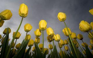 Бесплатные фото тюльпаны, бутоны, лепестки, желтые, стебли, листья, зеленые