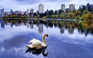 Фото бесплатно парк, лебеди, пруд