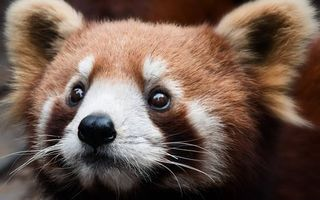 Фото бесплатно малая панда, морда, глаза, нос, уши, шерсть