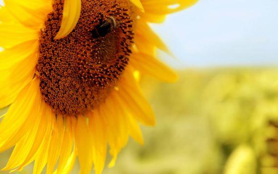 Photo free seeds, sunflower, yellow