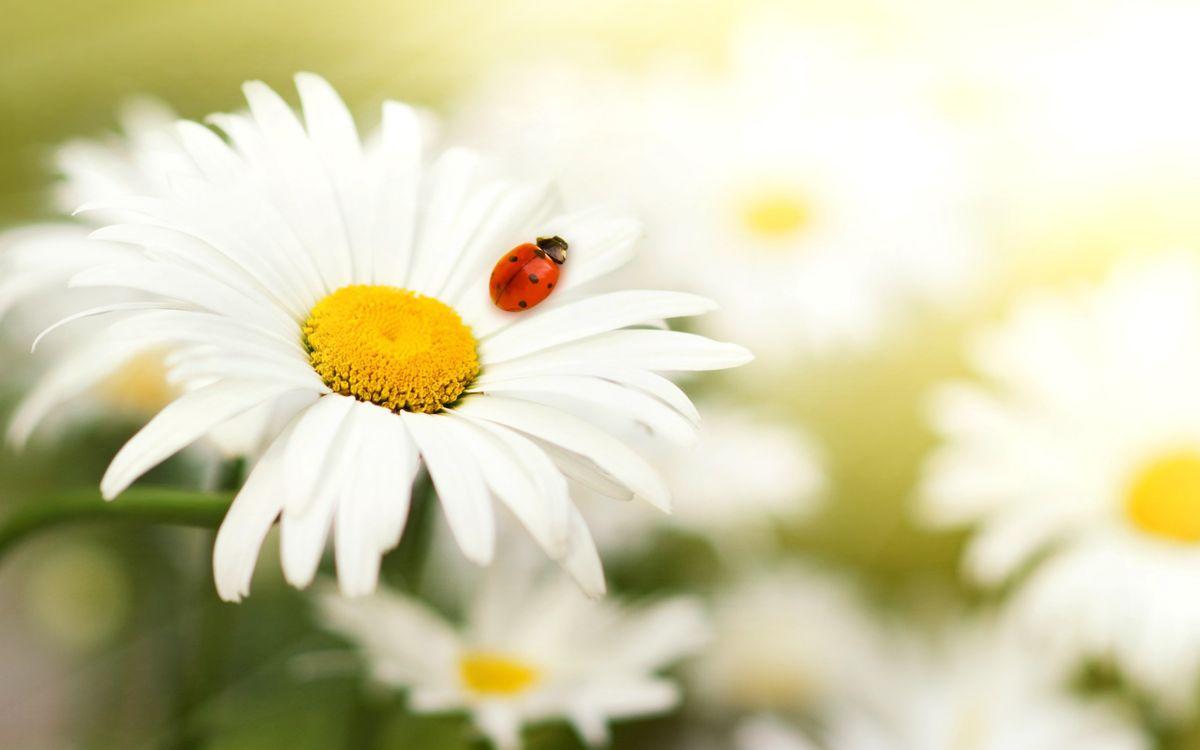 Обои ромашки, лепестки, белые, божья коровка, красная на телефон | картинки насекомые - скачать