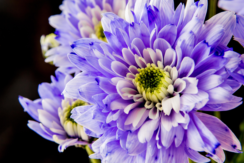 Обои георгин, цветок, флора