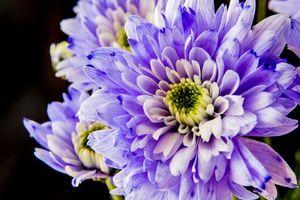 Бесплатные фото георгин,цветок,флора