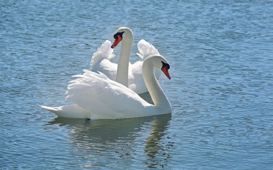 Photo free swans, pond, sunny