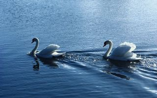 Бесплатные фото озеро,лебеди,плывут,волны