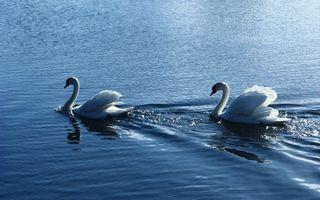 Фото бесплатно озеро, лебеди, плывут