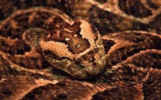 Фото бесплатно змея, голова, шкура, чешуя, узор