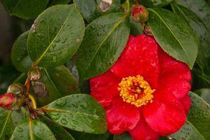 Фото бесплатно Камелия японская, камелия, листья