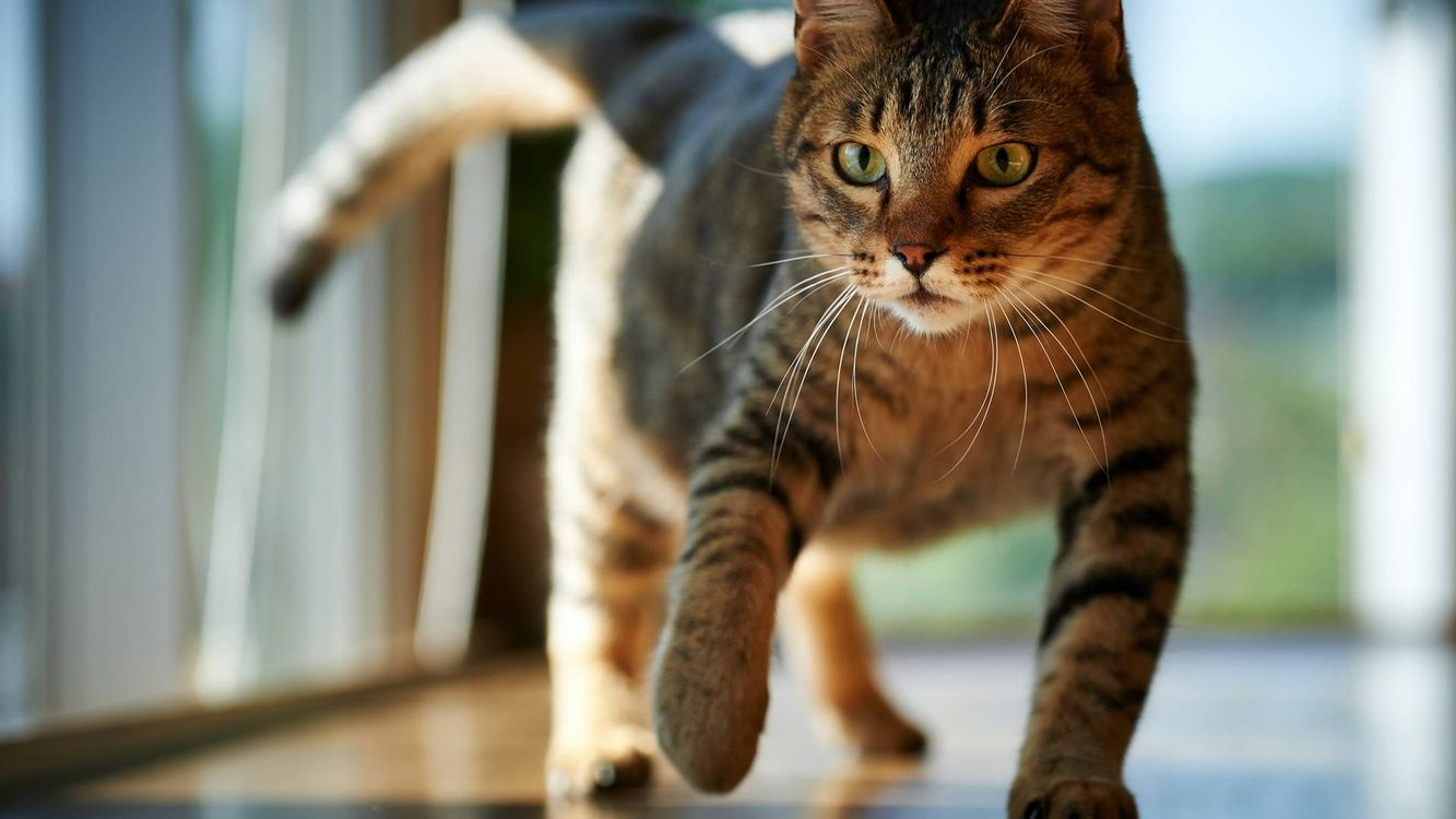 Фото бесплатно уличный кот, походка, квартира, окна, пол, глаза, хвост, кошки