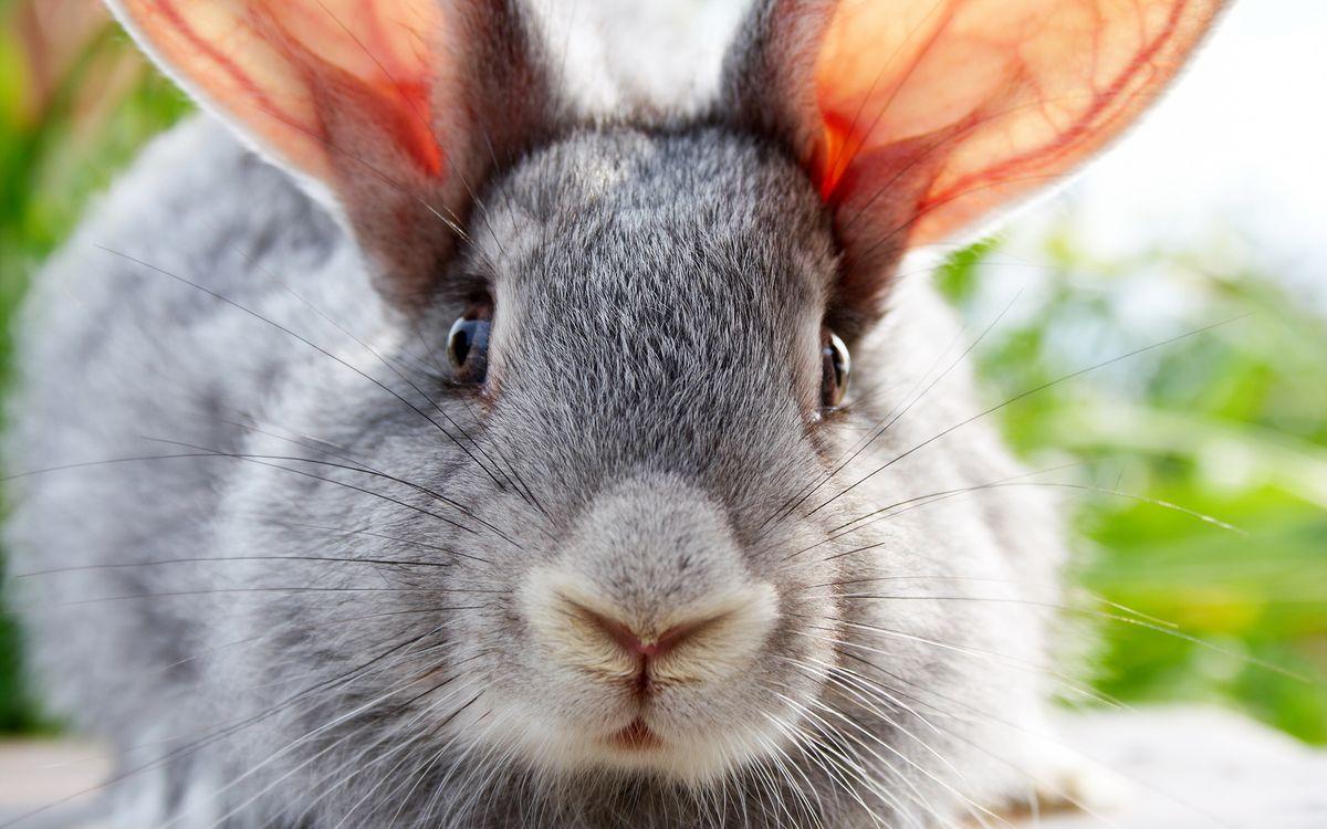 Фото бесплатно кролик, уши, усы - на рабочий стол