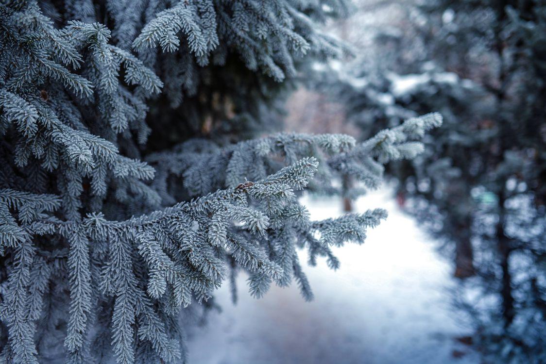 Free photo branch, spruce, snow - to desktop