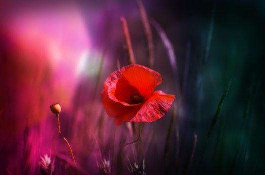 Заставки цветок, мак, макро