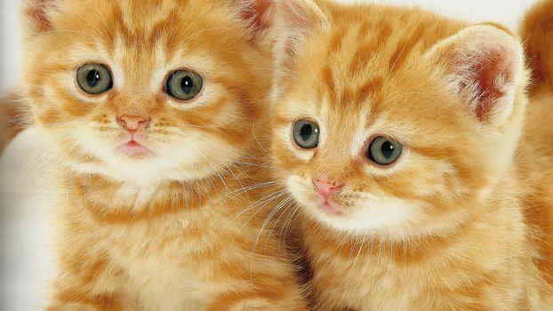 Заставки котята, рыжие, морды
