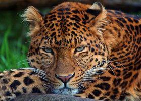 Бесплатные фото леопард,хищник,животное