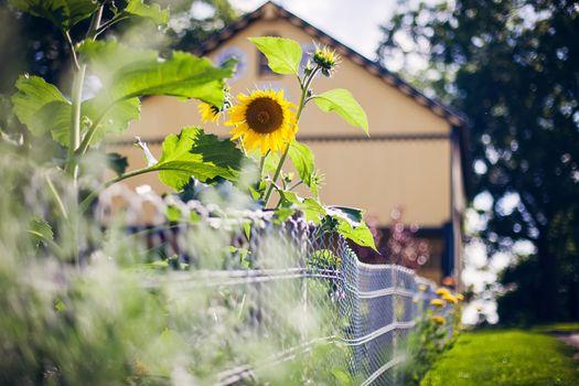 Фото бесплатно подсолнух, забор, дом