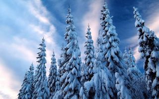 Photo free winter, trees, fir trees