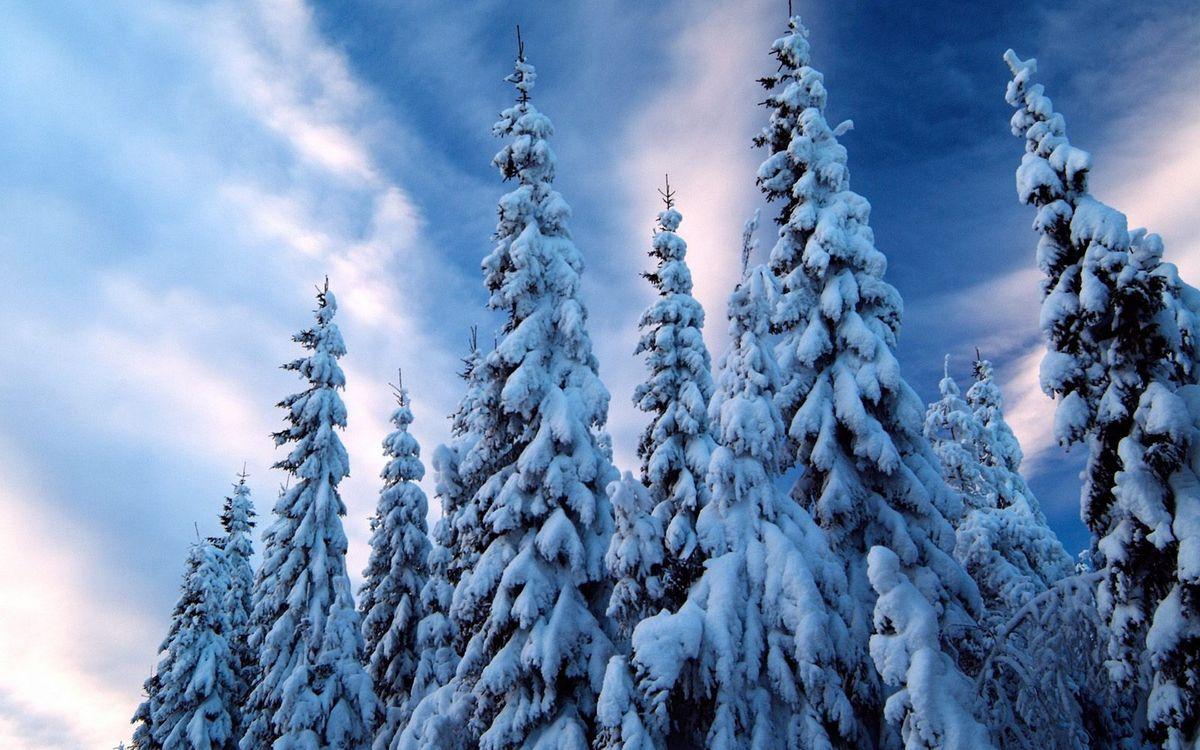 Фото бесплатно зима, деревья, ели - на рабочий стол