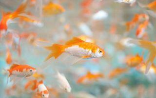 Бесплатные фото рыбки,оранжево-белые,чешуя,плавники,глаза,хвосты