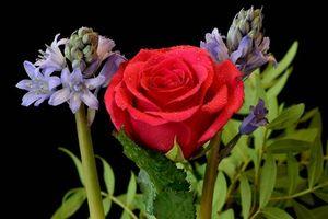 Фото бесплатно Гиацинт, роза, цветы