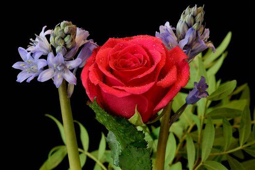 Бесплатные фото Гиацинт,роза,цветы,чёрный фон,флора