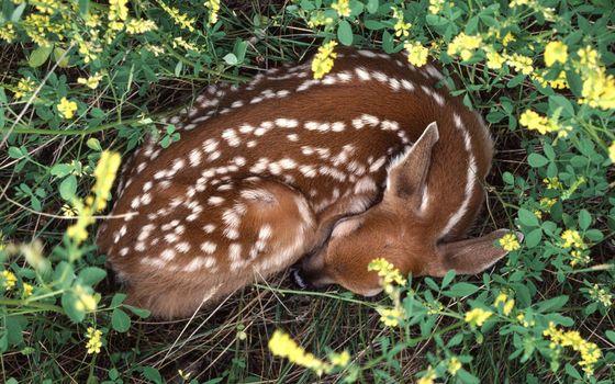 Фото бесплатно олененок, спит, шерсть, пятна, трава, цветочки