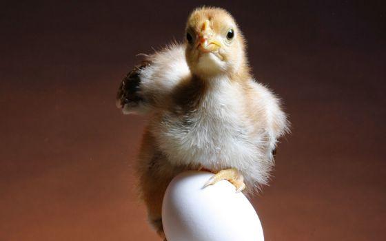 Заставки яйцо, ципленок, клюв
