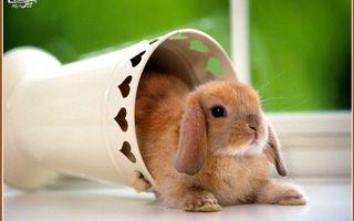 Заставки ваза, кролик, декоративный, морда, уши, лапы, шерсть