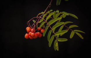 Обои ветка, рябина, ягоды, листья, чёрный фон