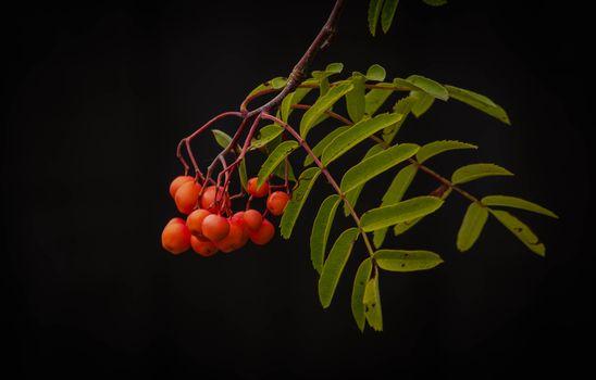 Photo free black background, rowanberry, leaves