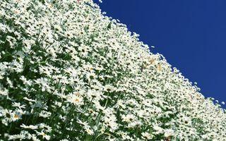 Заставки поле, ромашки, лепестки, белые, стебли, зеленые