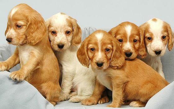 Фото бесплатно щенки, морды, уши