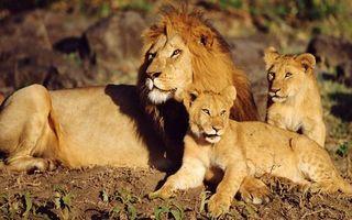 Фото бесплатно лев, грива, львята