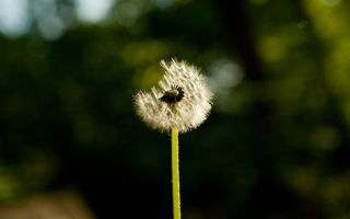 Фото бесплатно семена, одуванчик, зеленый