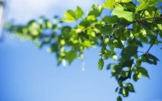 Бесплатные фото растение,хмель,листья,шишки,зеленые,небо