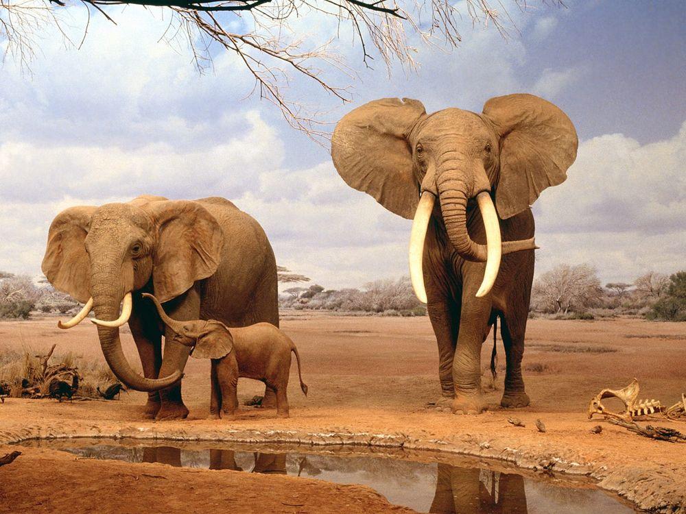 Обои семья слонов, слоны, слоненок, бивни, песок, лужа, жажда, кости, Африка на телефон | картинки животные