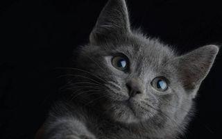 Бесплатные фото котенок,британец,морда,глаза,уши,шерсть