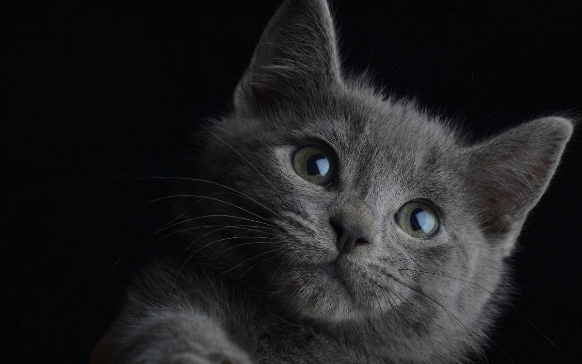 Фото бесплатно котенок, британец, морда - на рабочий стол