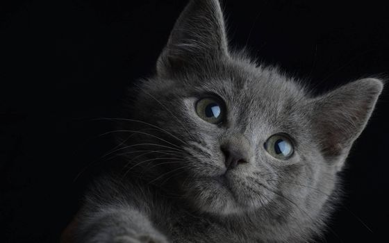 Фото бесплатно котенок, британец, морда