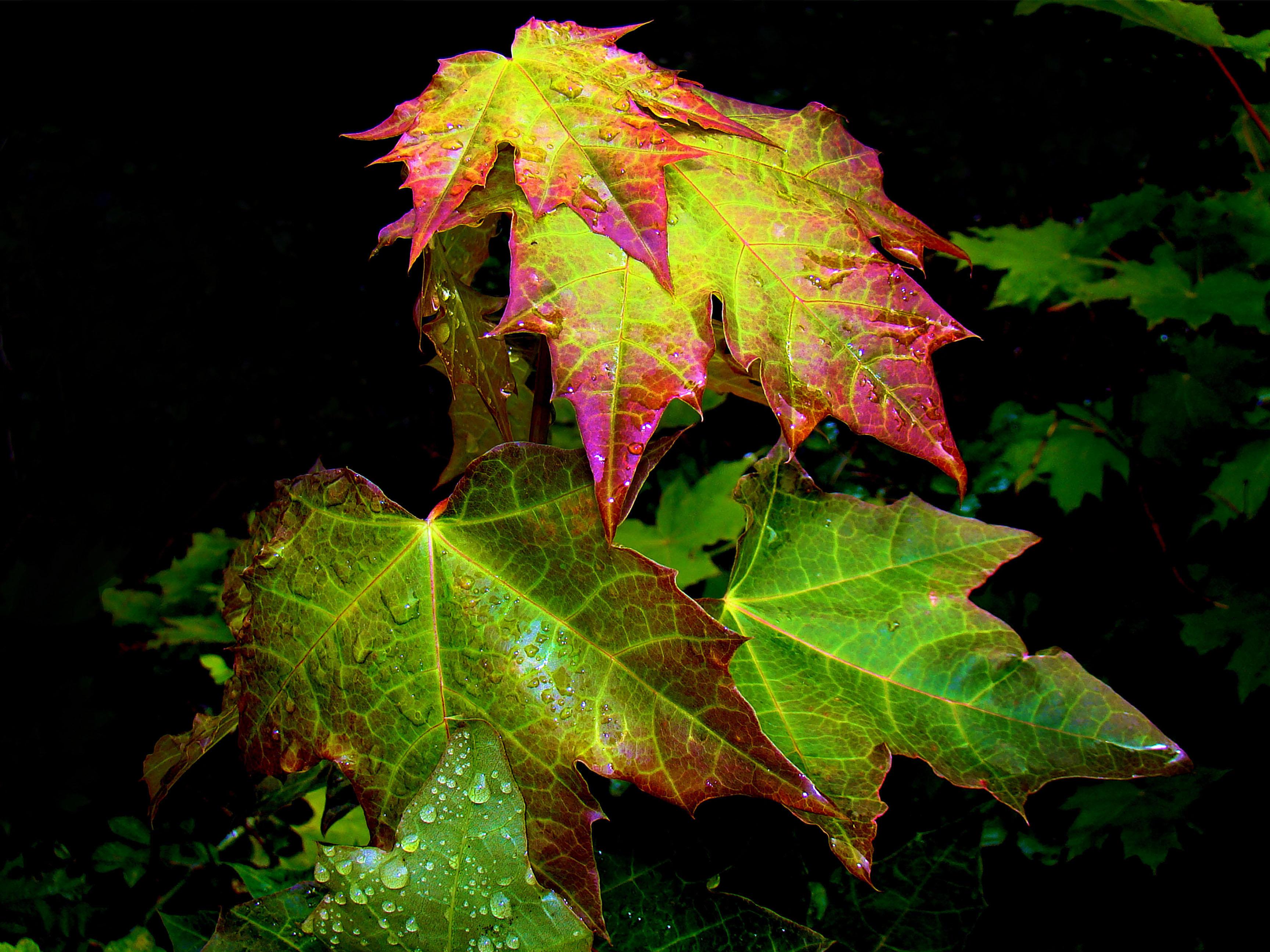Обои листья, клён, капли, природа