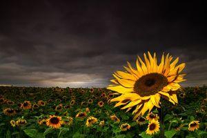 Бесплатные фото поле, подсолнухи, тучи, пейзаж