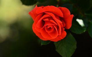 Бесплатные фото красная, роза, лепестки, листики, макро